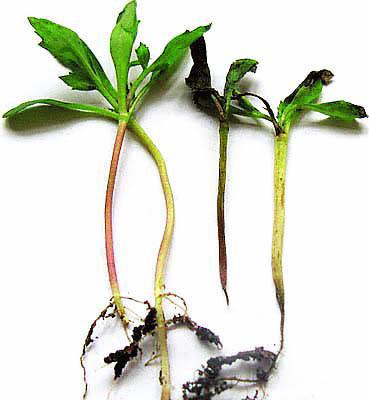 черная ножка на растениях тагетиса
