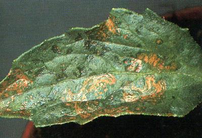 лист астры, пораженный вирусной болезнью