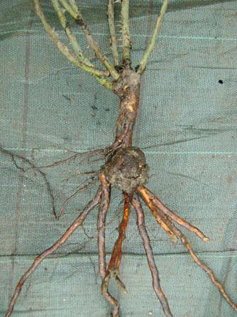 бактериальны рак на корне розы