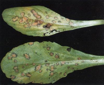 ржавчина на листьях маргаритки